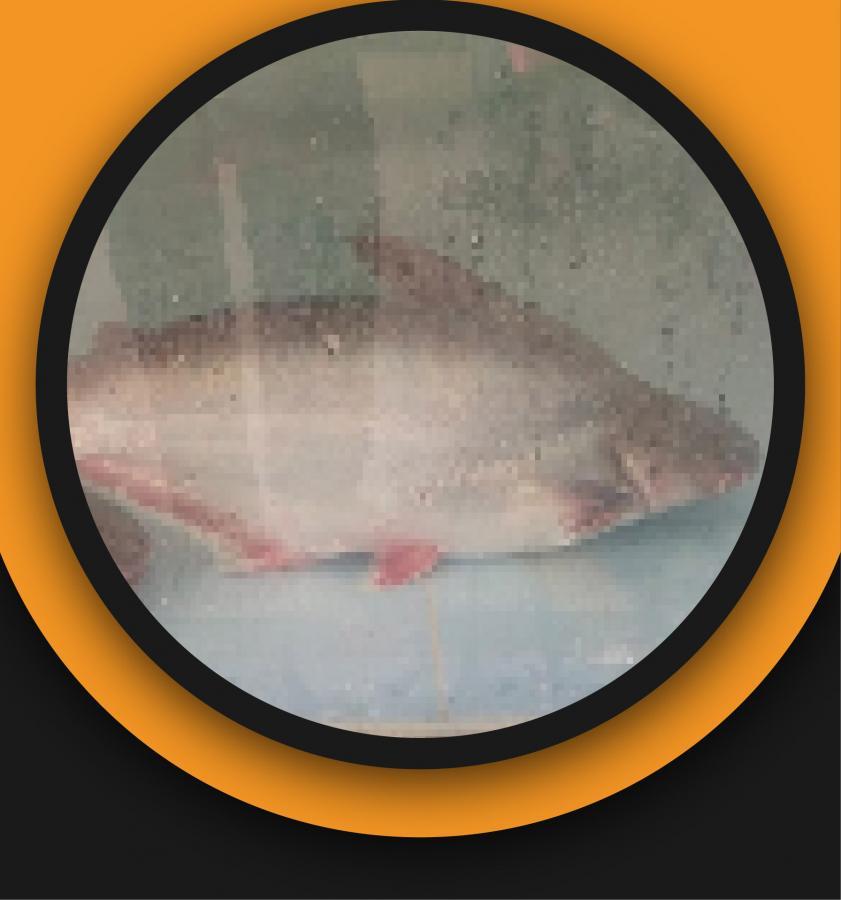 Live Pangas Fish