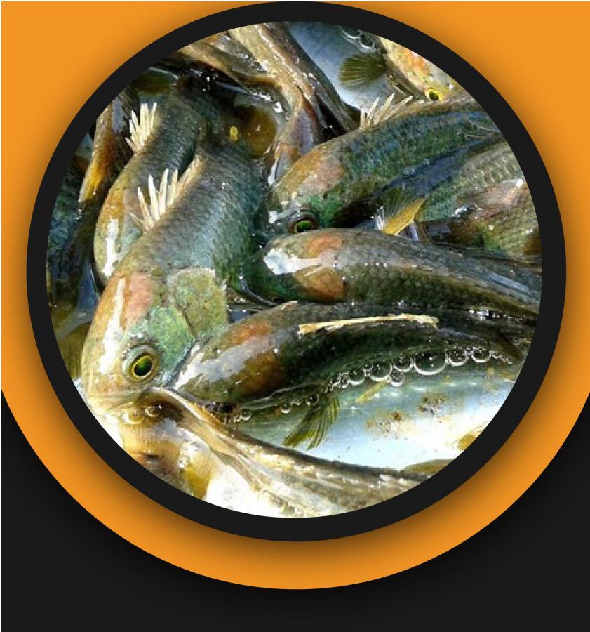 Deshi koi Fish
