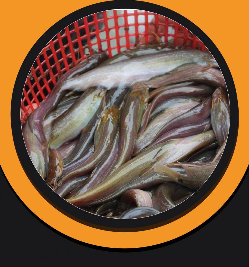 Deshi Shing Fish