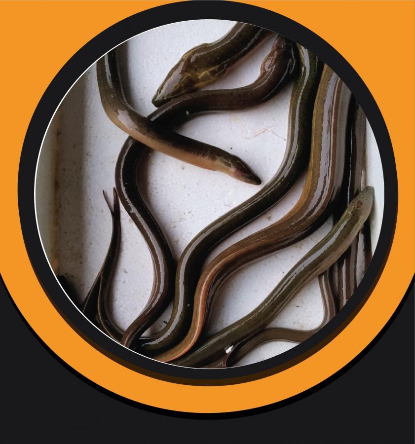 Eel Fish / Eel Snake