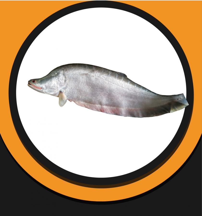 Chital Fish 3Kg+