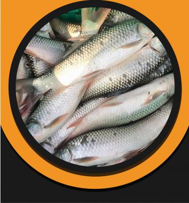 Mrigel Fish